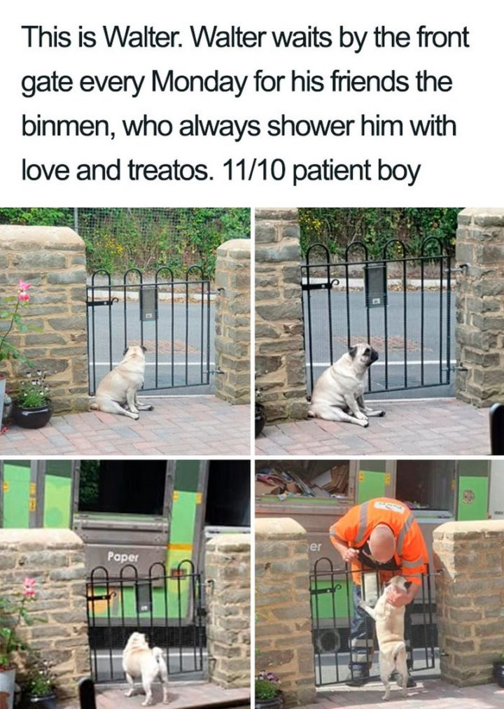 "55 Cute Dog Posts - ""This is Walter. Walter waits by the front gate every Monday for his friends the binmen, who always shower him with love and treatos. 11/10 patient boy."""
