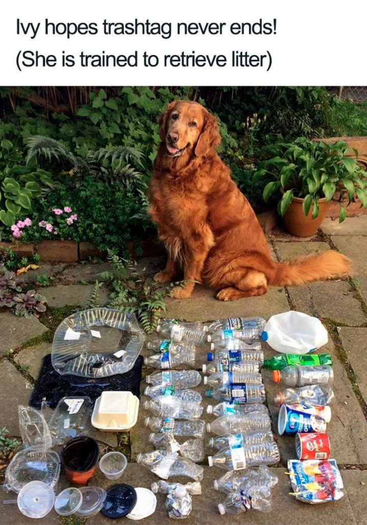 "55 Cute Dog Posts - ""Ivy hopes trash tag never ends! (She is trained to retrieve litter)."""