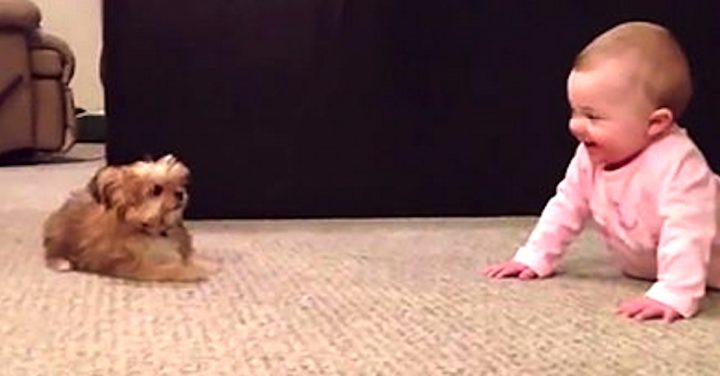 Baby Dog Whisperer Talks to Shorkie Puppy.