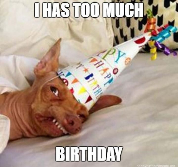 "101 Happy Birthday Dog Memes - ""I has too much birthday."""