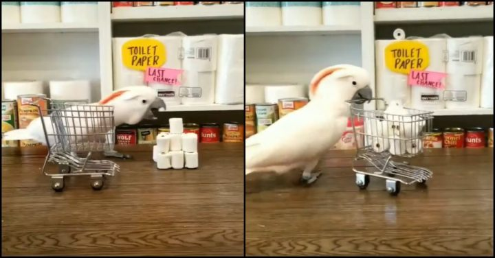 This Parrot Feverishly Hoarding Toilet Paper Will Make Your Day!