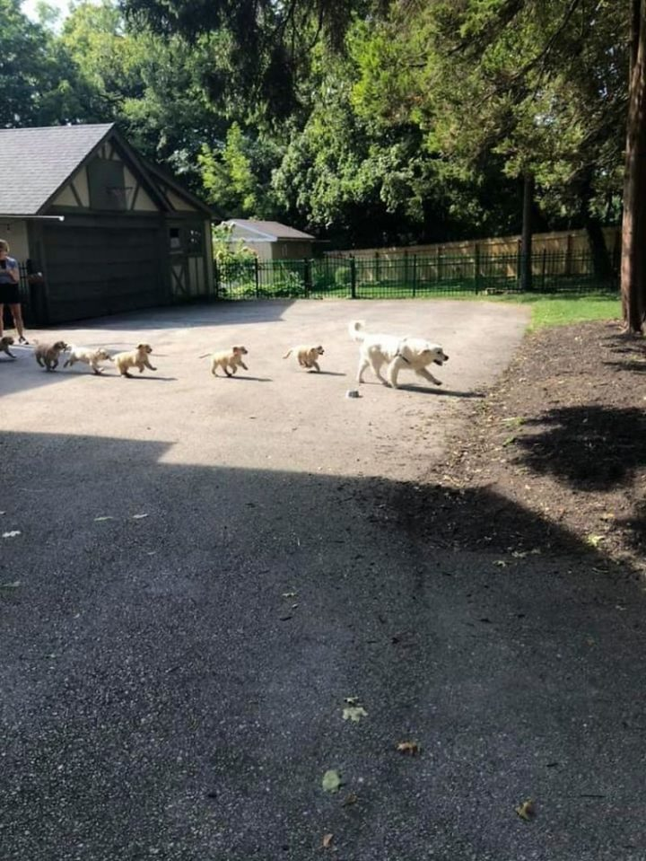 "Dogspotting: ""Spotted this daddy leading his hoard of puppers to the yard for playtime. 15/10 would get smothered in kisses by these cute babies again."""