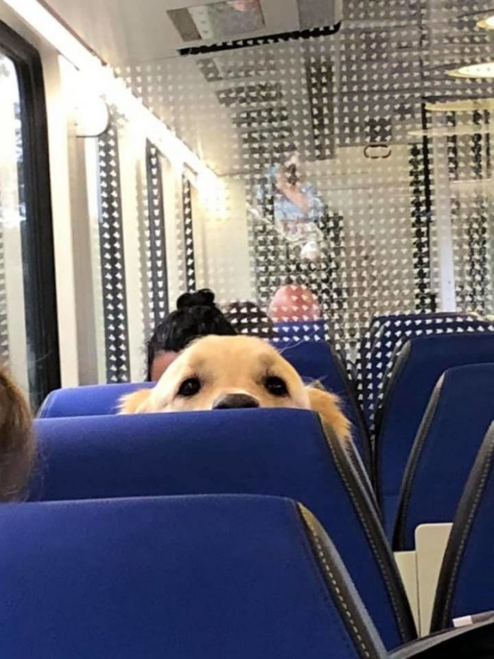 "Dogspotting: ""Found a big boy peeking at us in the train!"""