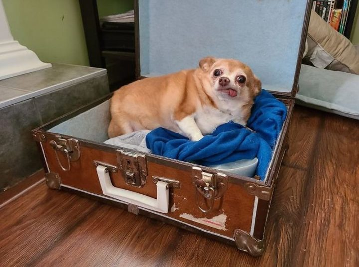 """I'm housesitting for some family friends and they mention they're dogsitting, no details. Meet Princess, she's toothless, sleeps in an old suitcase, and...yes, she's chubby, look we just met. I can't judge. Edit: there's an original dog that lives here, so I was dogsitting all along, it's just a known dog."""