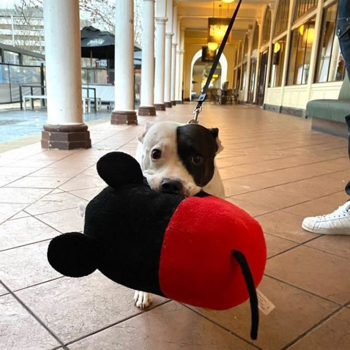 """Just met Ellie who likes to walk around the city with her favorite Micky Mouse toy (for all the attention and pats she gets). Can confirm it 110% worked."""