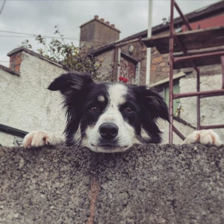 """Found this good boy peeking over a wall down by the sea in Scotland..."""
