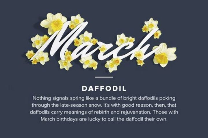 """""""Nothing signals spring like a bundle of bright daffodils poking through the late-season snow. It's with good reason, then, that daffodils carry meanings of rebirth and rejuvenation. Those with March birthdays are lucky to call the daffodil their own."""""""