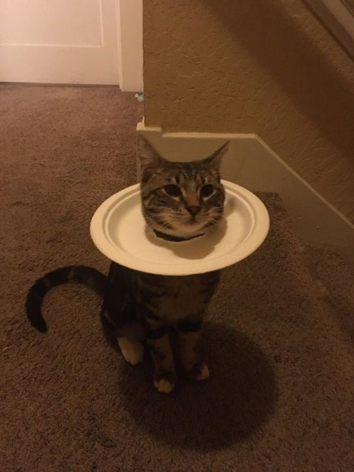 """27 Astonishing Life Hacks - """"Charlie got his balls snipped today and he hated the cone but is VERY okay with this plate instead. Here he is, purring."""""""