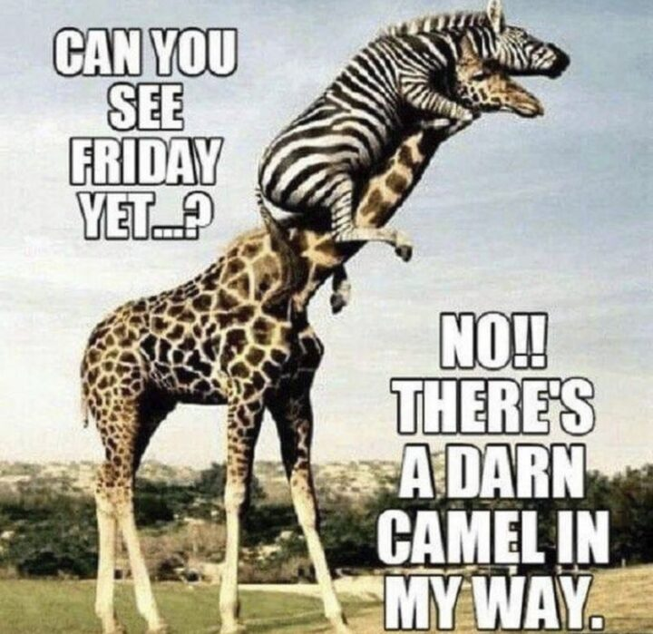 """""""Can you see Friday yet...? No!! There's a darn camel in my way."""""""