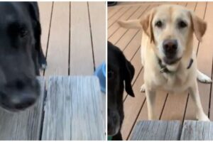 Two Labs One Surprise