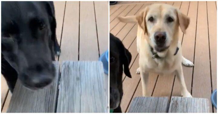"Two Proud Labrador Retrievers Fetch a ""Smoll"" Stick For Their Human."