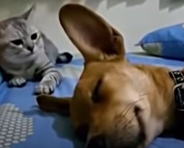 Dog Farts in His Sleep. The Cat's Reaction Will Have You LOL!